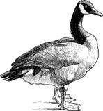 Wild goose standing Stock Photo