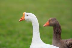 Wild goose Stock Photos