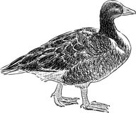 Wild goose Stock Photography