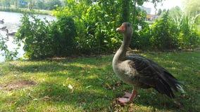 Wild goose Royalty Free Stock Photo