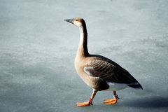 Wild goose walking on melted lake surface Royalty Free Stock Photo