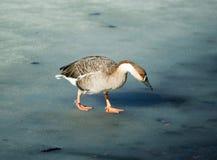 Wild goose walking on melted lake surface Royalty Free Stock Image