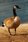 Wild goose. Walking on river bank Royalty Free Stock Images