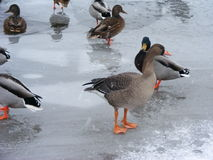 Wild goose in winter. River Royalty Free Stock Photo