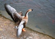 Wild goose in zoo Stock Photos