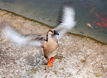 Wild goose in zoo. Abrown Wild goose in zoo locate in Anshan, China Stock Photos