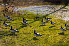 Wild gooses Royalty Free Stock Photography