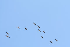 Wild-gooses Royalty Free Stock Photo