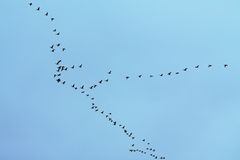 Wild-gooses Stock Images