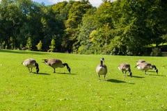 Wild gooses Royaltyfri Fotografi