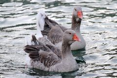 Wild gooses on the lake Stock Photos