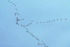 Wild-gooses-wildernis Stock Afbeeldingen