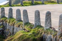 Wild gophers near the mountain road Stock Photo