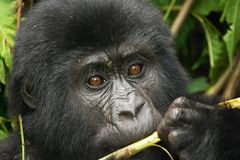 Wild gorilla. Baby of eastern mountain gorilla in rainforest of Uganda Royalty Free Stock Image