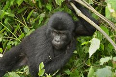 Wild gorilla. Baby of eastern mountain gorilla in tropical forest of Uganda Royalty Free Stock Images