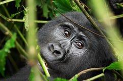 Wild gorilla Stock Images