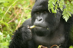Wild Gorilla animal Rwanda Africa tropical Forest Royalty Free Stock Photography