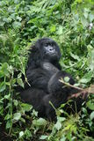Wild Gorilla animal Rwanda Africa tropical Forest Royalty Free Stock Photo