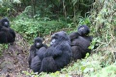 Wild Gorilla animal Rwanda Africa tropical Forest Stock Image