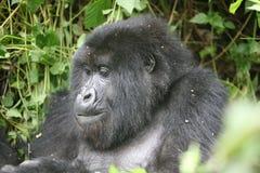 Wild Gorilla animal Rwanda Africa tropical Forest. Rwanda Wild Gorilla animal  Africa tropical Forest Stock Photography