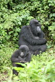 Wild Gorilla animal Rwanda Africa tropical Forest Royalty Free Stock Images