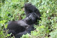 Wild Gorilla animal Rwanda Africa tropical Forest Stock Photo
