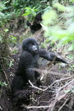 Wild Gorilla animal Rwanda Africa tropical Forest Royalty Free Stock Photos