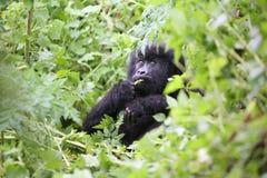 Wild Gorilla animal Rwanda Africa tropical Forest stock images