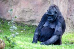 Wild gorilla Royalty Free Stock Image