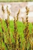 wild gräs Royaltyfri Fotografi