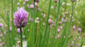 wild gräslökar royaltyfria foton