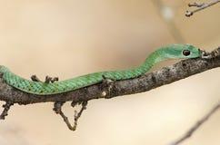 wild grön mamba Royaltyfria Bilder