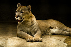 Wild Grace. Stay graceful predator of the cat family Stock Images