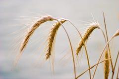 Wild grain. Plant in sunny day stock image
