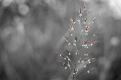 Wild Grain Blossoming Royalty Free Stock Image