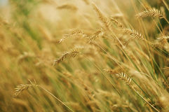 Wild grain close-up. Against blurred field Royalty Free Stock Photo