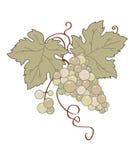 Wild grape Stock Photos