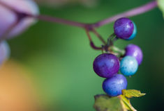 Wild Grape. Close-up of ripe fruit from wild grape (Vitaceae Stock Photo