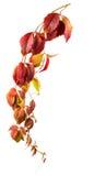 Wild grape autumn branch Stock Photos