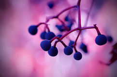 Wild grape berry Royalty Free Stock Photos