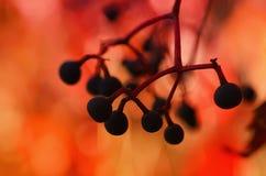 Wild grape berry Stock Photography