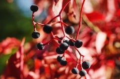 Wild grape berry. Natural seaasonal red autumn vintage background Royalty Free Stock Photo