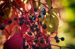 Wild grape berry. Natural seaasonal red autumn vintage background Stock Images