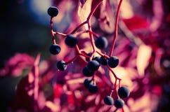 Wild grape berry Royalty Free Stock Photos