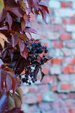 Wild grape on a brick wall royalty free stock photo