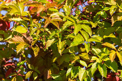Wild grape green and red leaves wall as background Royalty Free Stock Photos