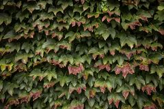 Wild grape green wall horizontal image Stock Image