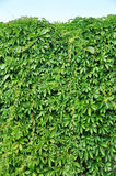 Wild grape green wall Royalty Free Stock Photography