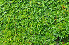 Wild grape green wall Stock Image
