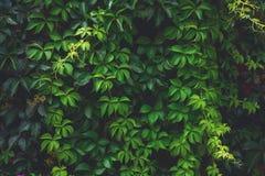 Wild grape green wall. Toned Stock Photos